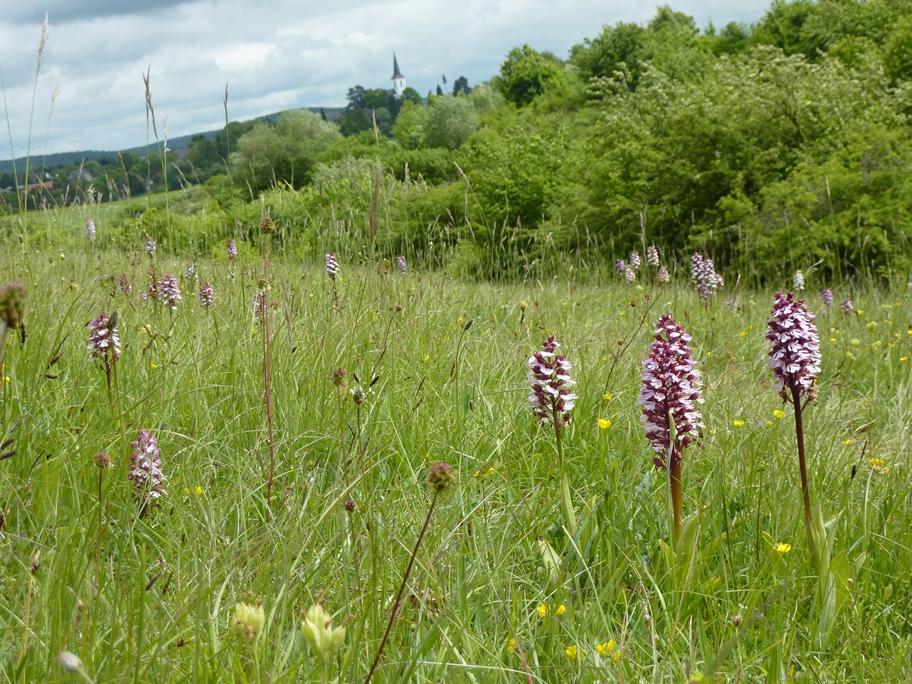 Wildorchideen